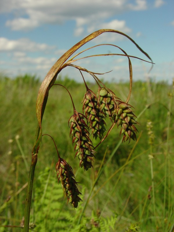 Carex magellanica, commonly known as boreal bog sedge, grows on Metinic Island in June 2007, and is one of the many sedges that grows in Maine.