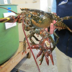 Halloween-colored lobster caught off Mass. coast