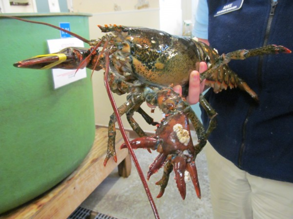 Lola, this four-pound lobster with a total of six claws, was captured recently off the coast of Hyannis, Mass., and donated to the Maine State Aquarium in Boothbay Harbor. The lobster, which has amazed even the most experienced marine experts, will go on public display next week.
