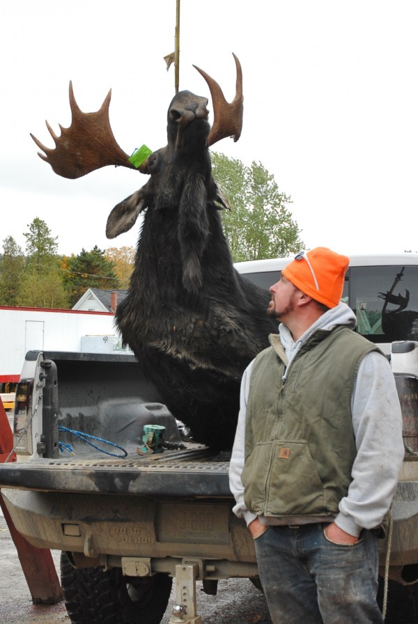 Chad Fenton of Harrington watches at the Fort Kent tagging station as his moose is lifted to be tagged and weighed. The bull moose came in at 976-pounds.