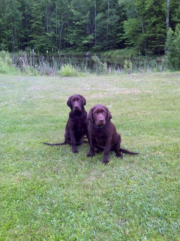 On Saturday night, two chocolate Labrador retrievers were stolen from a pickup truck in Newport.