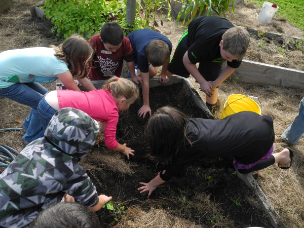 Students dug potatoes Thursday in their school garden project at the Edna Drinkwater Elementary School's Harvest Day.
