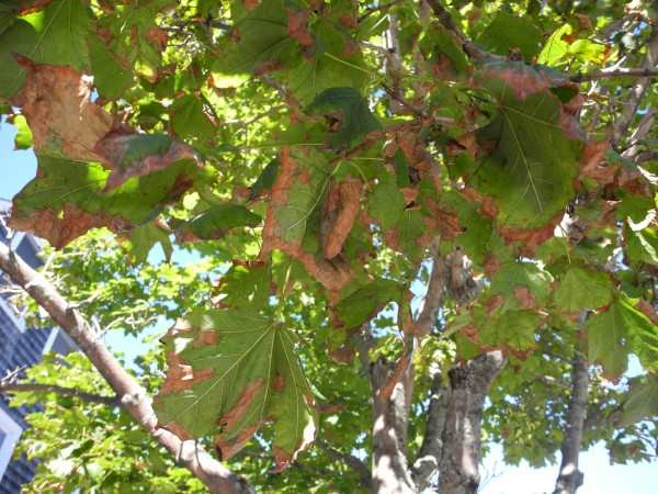 A half-dozen maple trees in a downtown green space have leaves that appear to have a fungus that causes them to turn brown and fall off early. The trees are among many Belfast maples that have the spotted leaves.
