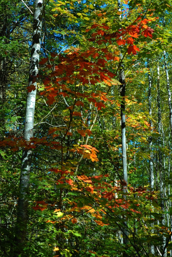 With the first frosty mornings this week in northern Maine come the fall colors in the woods.