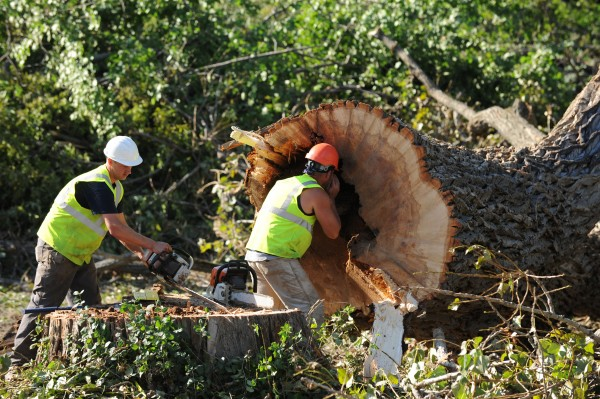 Crew members with Maine Tree and Landscaping inspect the trunk of a giant cottonwood tree after felling it on Tuesday to make way for a credit union in Orono.
