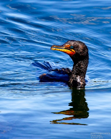 DOUBLE-CRESTED CORMORANT_0003-1