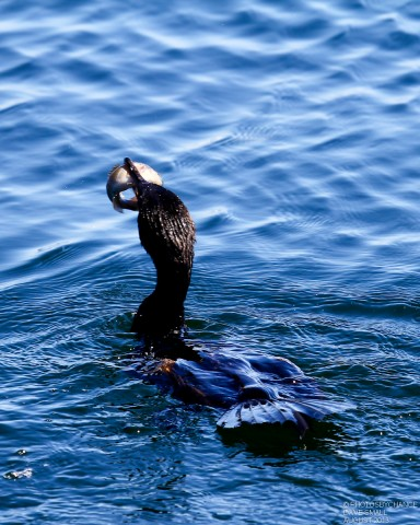 DOUBLE-CRESTED CORMORANT_0019-1