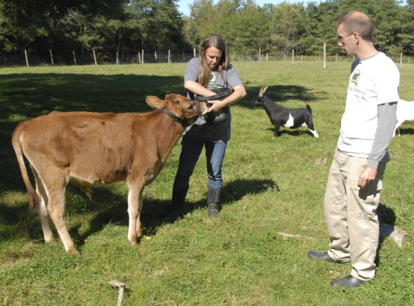 Dennis Morelli of Portland watches as his wife, Melissa Andrews, feeds apples to Theo, a 5-month-old Jersey calf that was brought to Peace Ridge Sanctuary earlier this year. Morelli is the vice president of the sanctuary's board of directors; Andrews is the board's secretary.