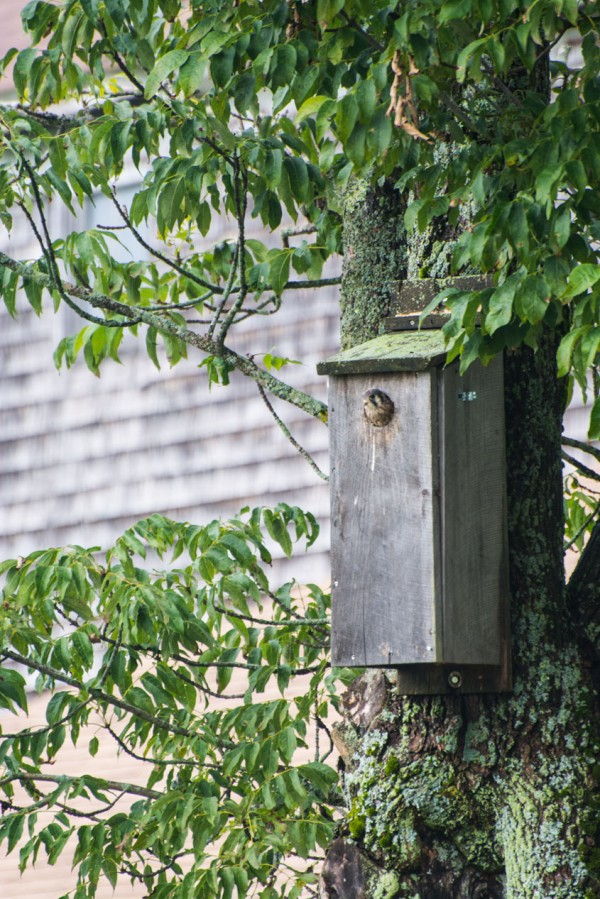 The kestrel box - occupied.