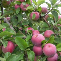 Apple growers preparing for hurricane