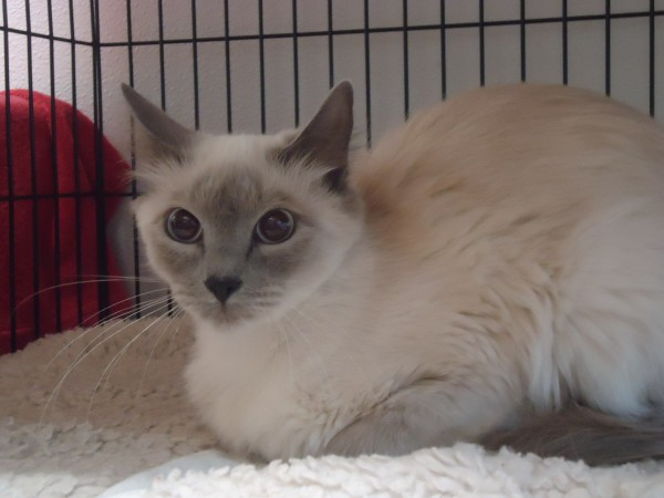 Meet Me Out Front at THE CAT'S MEOW.  This lovely mother, a petite siamese mix, was abandoned this week with her four kittens.  Photo: Brittany Lebel