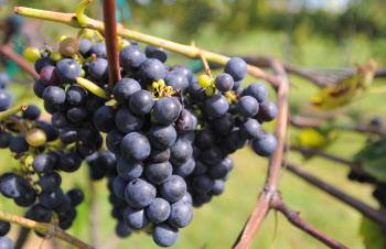 Grapes at the Younity Winery and Vineyards in Unity.