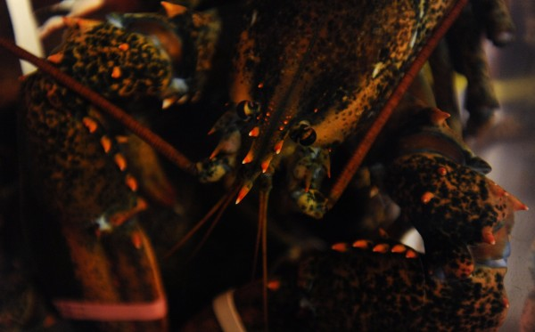 A lobster sits in a tank at McLaughlin's Seafood in Bangor in this file photo.