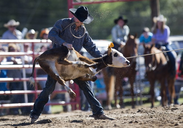 A contestant flips a calf in the tie-down roping competition at the Cumberland County Fair, Saturday, Sept 28, 2013.