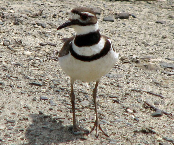 Killdeer are among the birds that can be put at risk by off-leash dogs.