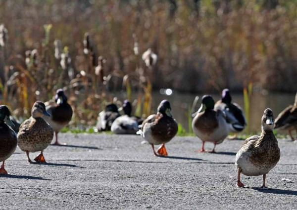 A growing number of ducks inhabiting a pond on the North Road have become a cause for concern for the town's animal control officer. People who have been regularly feeding the flock may not realize they may harming the birds and the local ecosystem.
