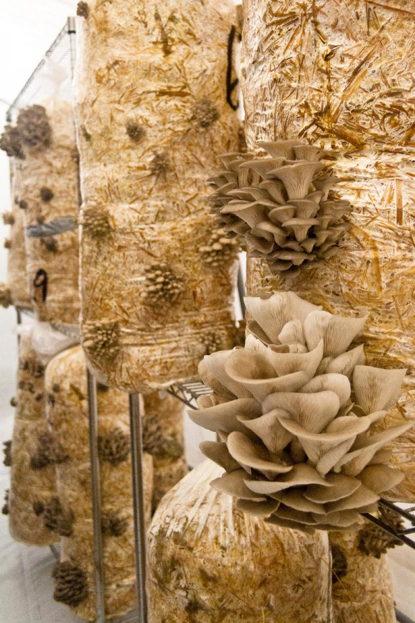 Oyster mushrooms protrude from straw-filled bags within a climate-controlled growing tent at Bountiful Mushrooms Farm in Portland.