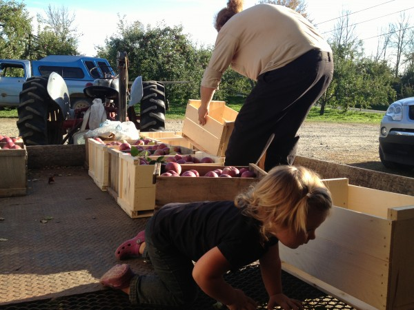 Liberty Davis, 1, helps the pickers load the days bounty at Cayford Orchards, where she helps her parents.
