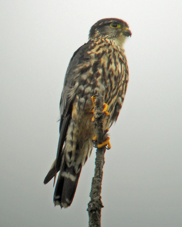 Merlins are medium-sized falcons that nest all over the state.
