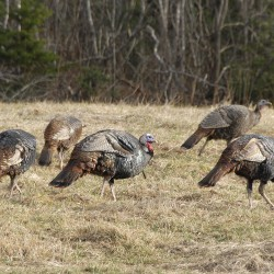 Grouse numbers fair, turkeys abound