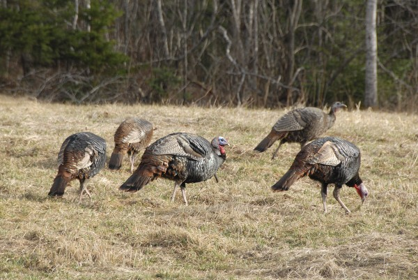 Five wild tom turkeys feed in a Lamoine field in this 2012 file photo.