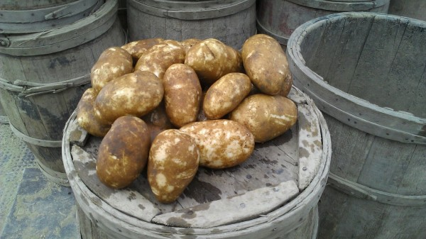 The 2013 Maine potato crop is looking slightly above average in yield and quality, according to industry officials.