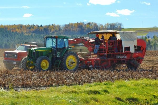 Farmers from one of Aroostook County to the other take full advantage of sunny conditions to get the crop in on Saturday.