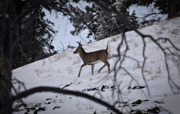 A Whitetail Deer crosses a ridge in Banff National Park near Lake Louise, Alberta November 22, 2012.