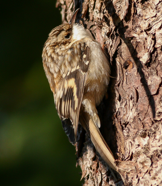 Brown creepers are nonmigratory and can be seen across the state. You're more likely to hear the song of a brown creeper before you actually spot it.