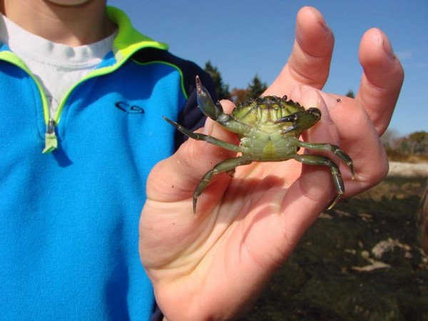 Bath Middle School student Matthew Beard shows off a European green crab, whose appetite for softshell clams poses a concern for the industry.