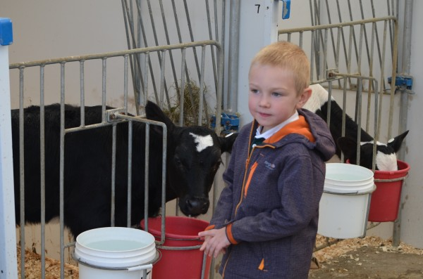 Oliver Higgins, 4, of Brewer interacts with a cow calf at Witter Farm in Old Town. Dozens of people decended upon the farm during Open Farm Sunday.