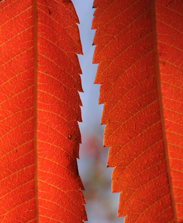 Sumac leaves shine bright red as the morning sun hits them in a forested section of Glenburn on Sunday.