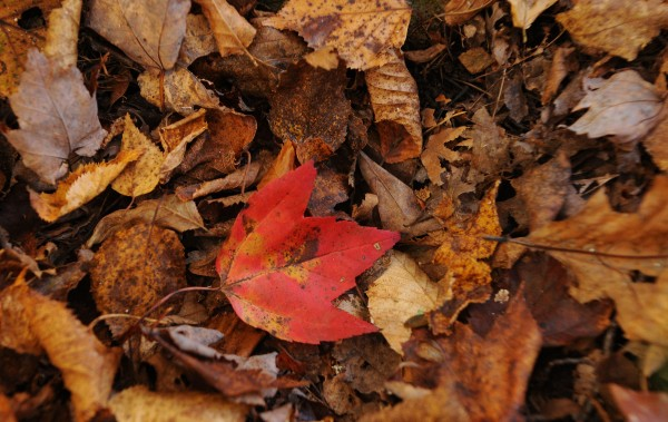 A red maple leaf lays on the forest floor among other leaves on Sunday in Glenburn, awaiting November's gusts to spread them far and wide.