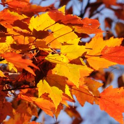 Maples leaves glisten in the morning sun on Sunday as fall winds down in Glenburn.
