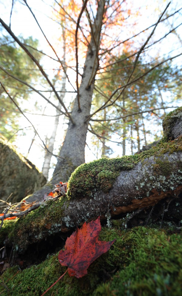 A maple leaf rests on bed of moss under a dead evergreen near Phillips Lake in Lucerne on Monday.