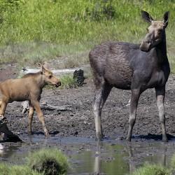 Moose feed near Moosehead Lake in June.