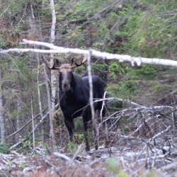 Dodging lovestruck moose and other north woods adventures