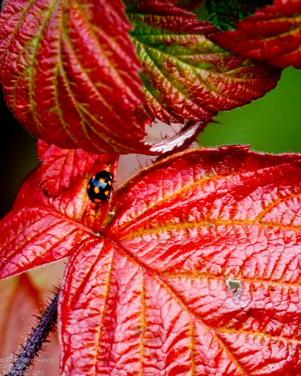 Eight-spotted leaf beatle