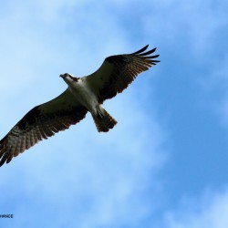 An osprey in flight