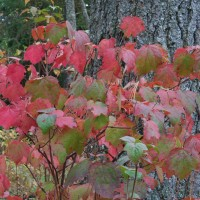 Fall is the time to dig up the burning bush