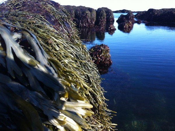 """Rockweed"" courtesy of Maine Sea Grant"