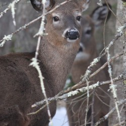 Penobscot region biologists seeing big deer, healthy moose reported in The County