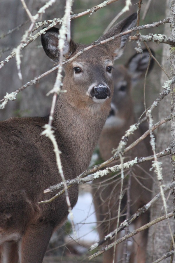 Two white-tailed deer pause at the edge of the woods on March 8, 2013, beside Indian Point Road, less than 0.5 mile from the entrance to Indian Point Blagden Preserve on Mount Desert Island.