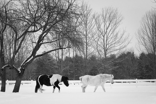 Ponies Koki (left) and Dancer don't seem to mind the snow at Wild Ivy Farm in Bangor.