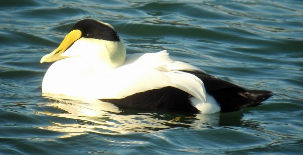 A male common eider duck.