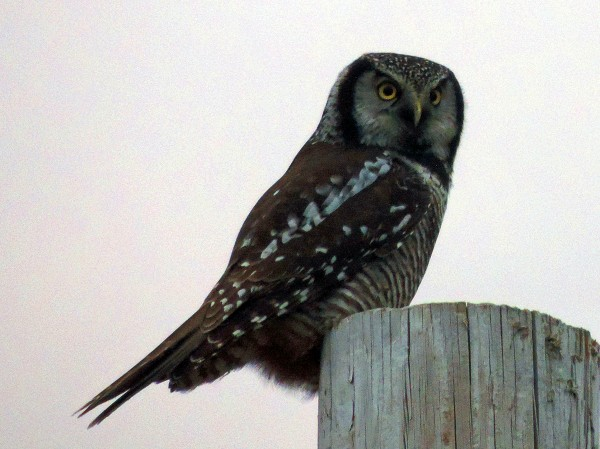 This northern hawk-owl has been seen regularly in Lincoln, Maine, recently.