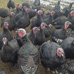 Injured turkey gets Thanksgiving reprieve at York rehabilitation center