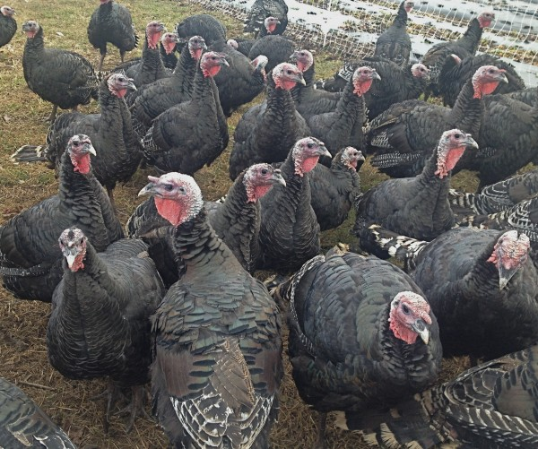 Gobble, gobble. These pasture-raised birds fed on organic grain are in demand in November at Frith Farm in Scarborough.