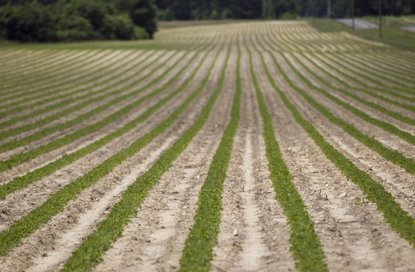 Straight rows of peanut plants grow on Jerry L. Hamill's farm in Halifax, N.C., June 6, 2012.