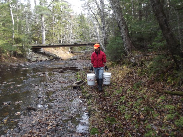 Downeast Salmon Federation staffer Maria McMorrow carries buckets of salmon parr along Seavey Brook in Wesley.